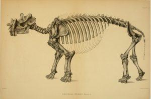 Dinocerata (Biodiversity Heritage Library)